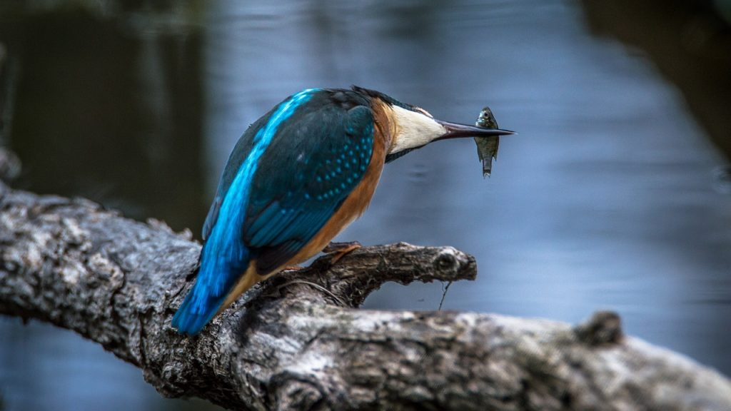 kingfisher, bird, common kingfisher-2118793.jpg