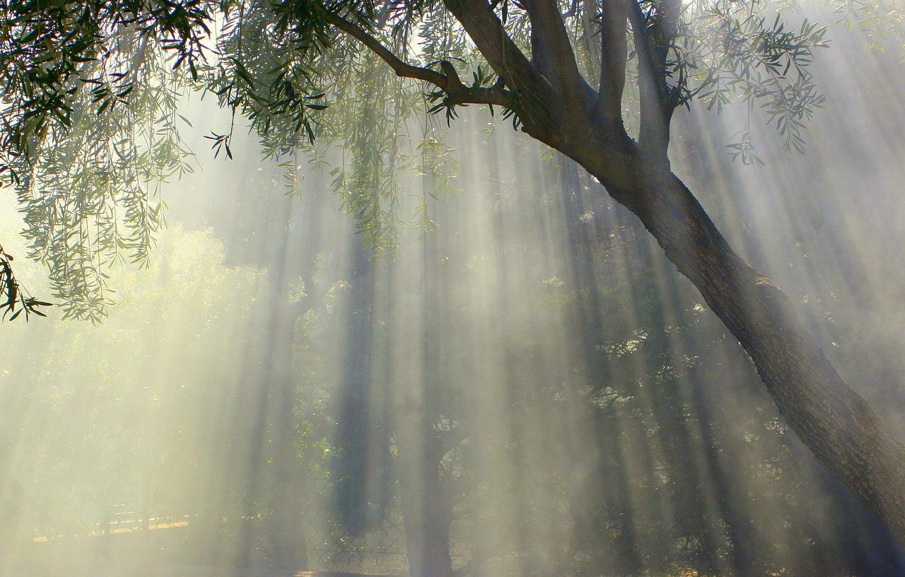 foggy, olive tree, nature