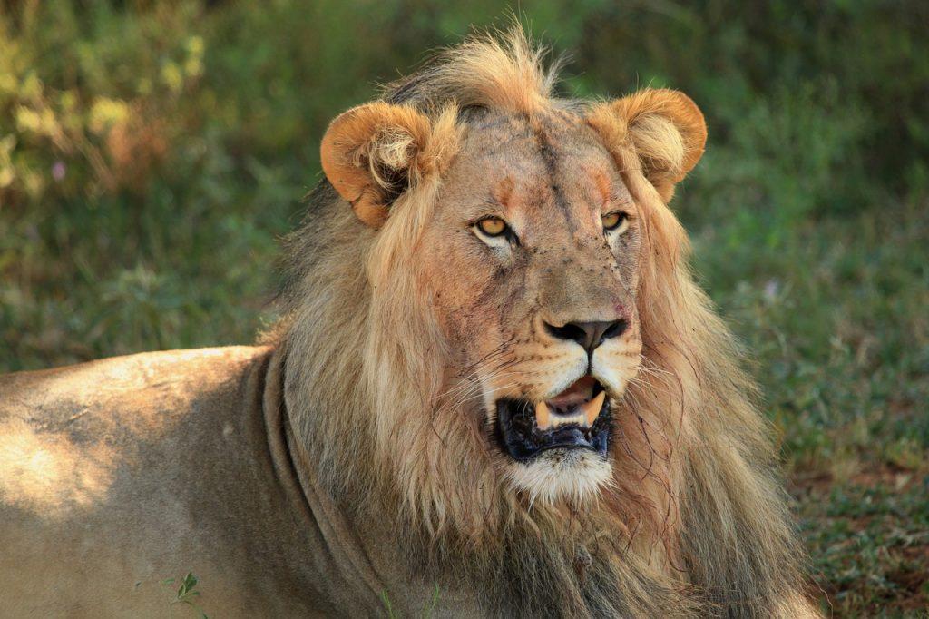 leon, animals, feline