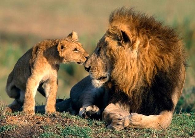 Disciplinar con amor, como un leon con sus leoncitos